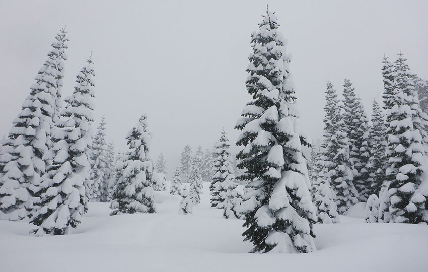 Snow-flocked trees in a snowstorm on a mountainside
