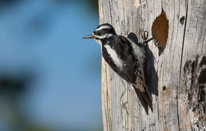Hairy Woodpecker takes a break from pecking on an old, dead tree